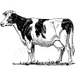 Sierra Valley Flour Sack Towel  A black and white cow